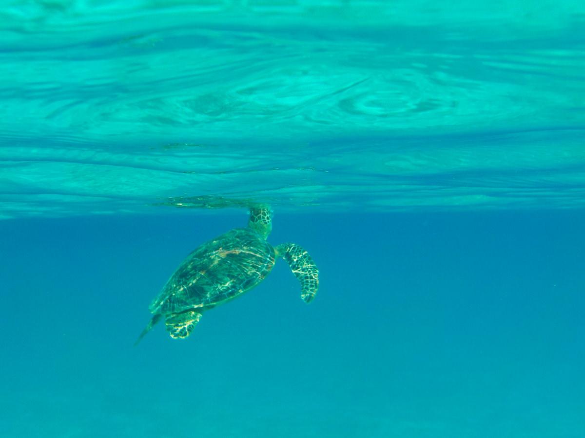 とかしくビーチ ウミガメ